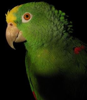 Yellow naped amazon parrot left side